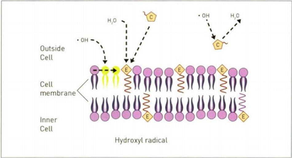 Hình 16.20 Ảnh hưởng của ROS đến màng tế bào