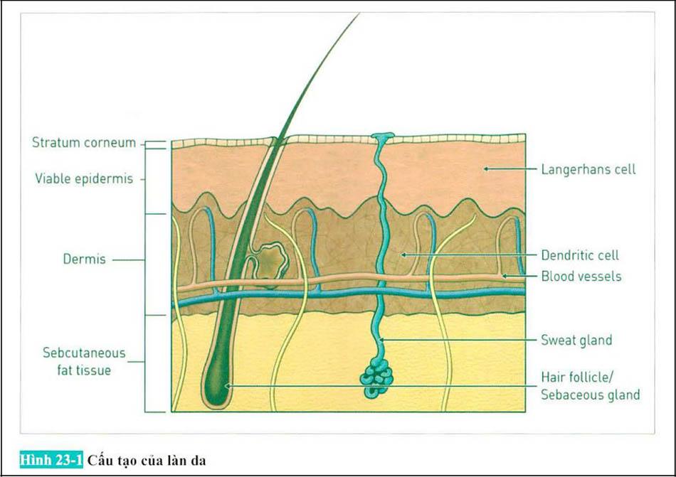 Hình 23-1 Cấu tạo của làn da