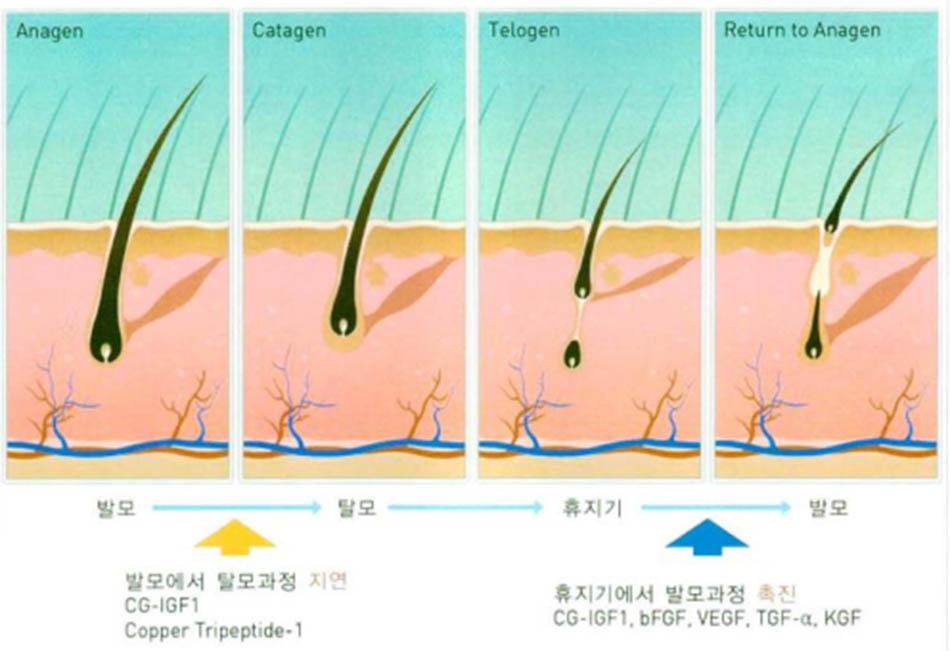 Hình 2-2 Chu kì sinh trưởng của tóc
