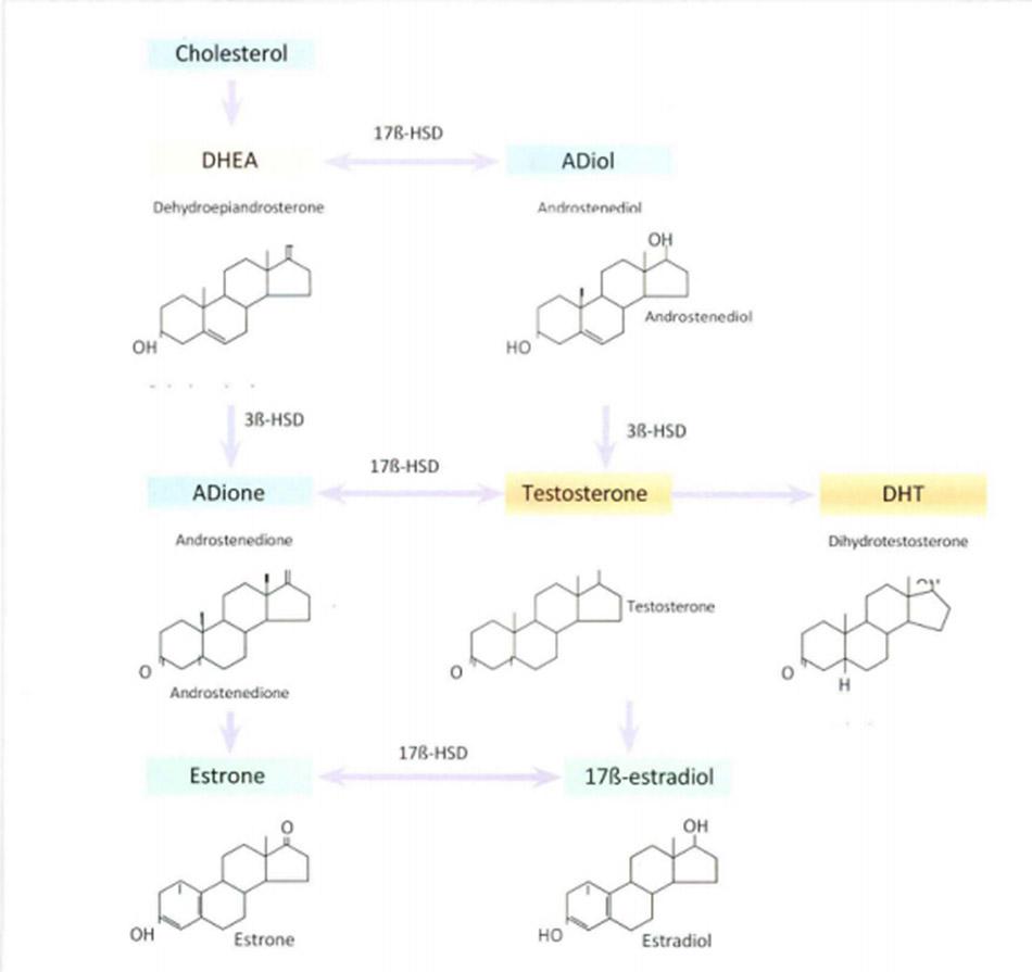Hình 17.1 Estrogen và Androgen