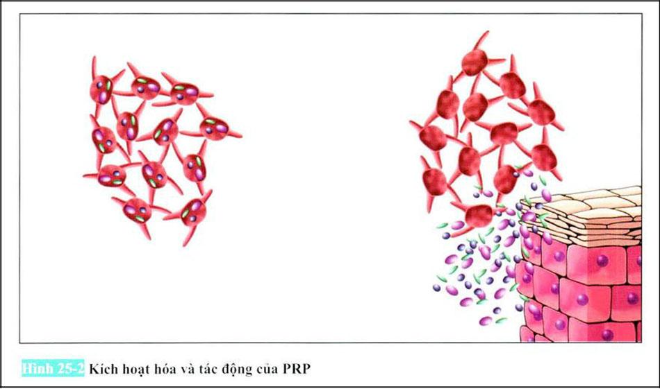 Hình 25-2 Kích hoạt hóa và tác động của PRP