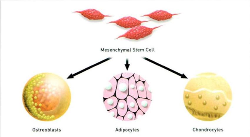Hình 3-2 Mesenchymal stem Cells