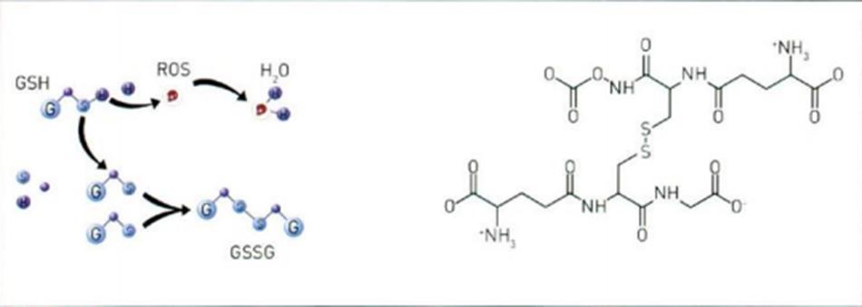 Hình 16.14 Oxy hóa khử Glutathione