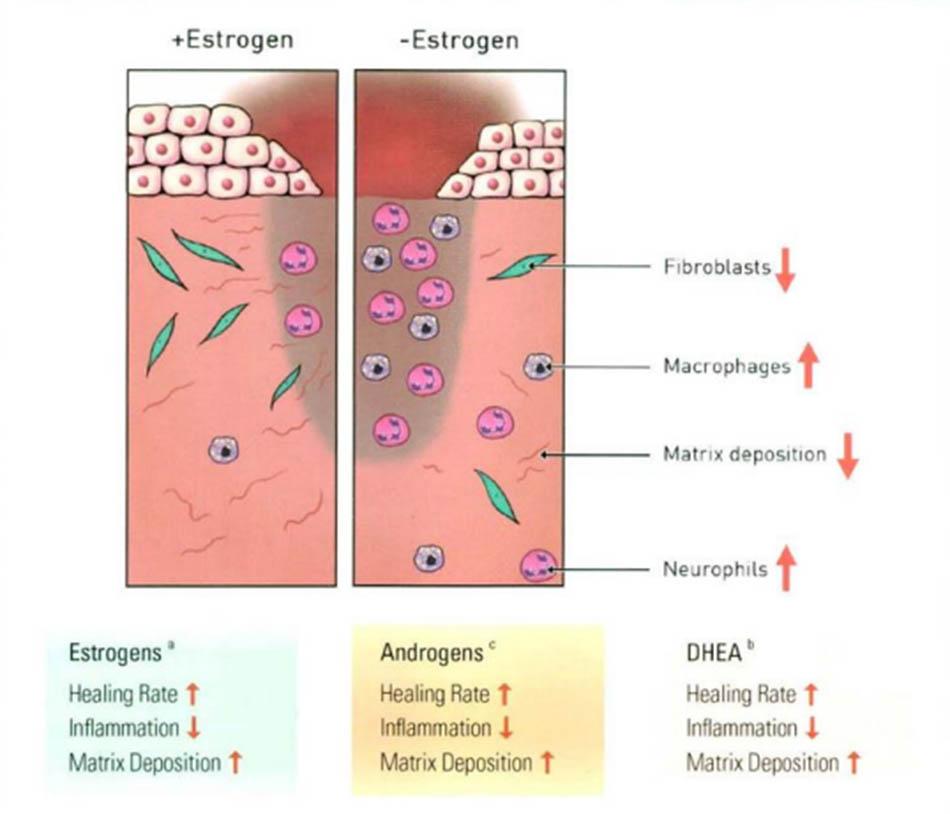 Hình 17.3 Phản ứng chữa lành vết thương với estrogen
