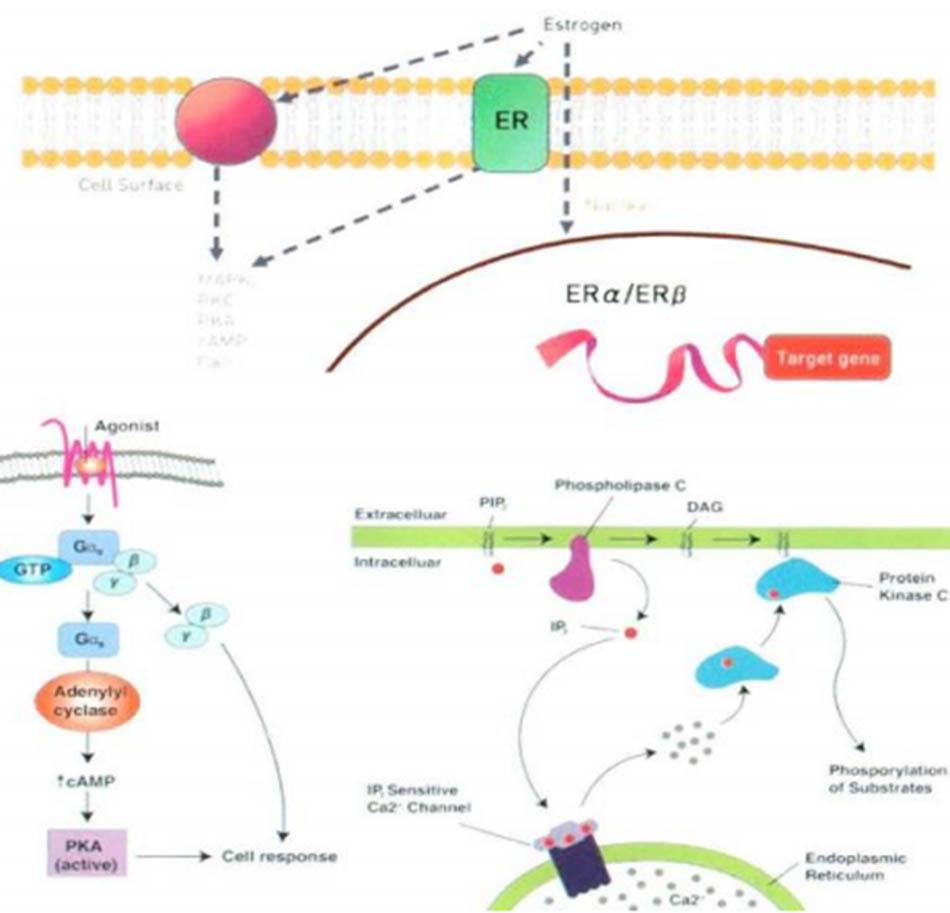 Hình 17.2 Receptor Estrogen