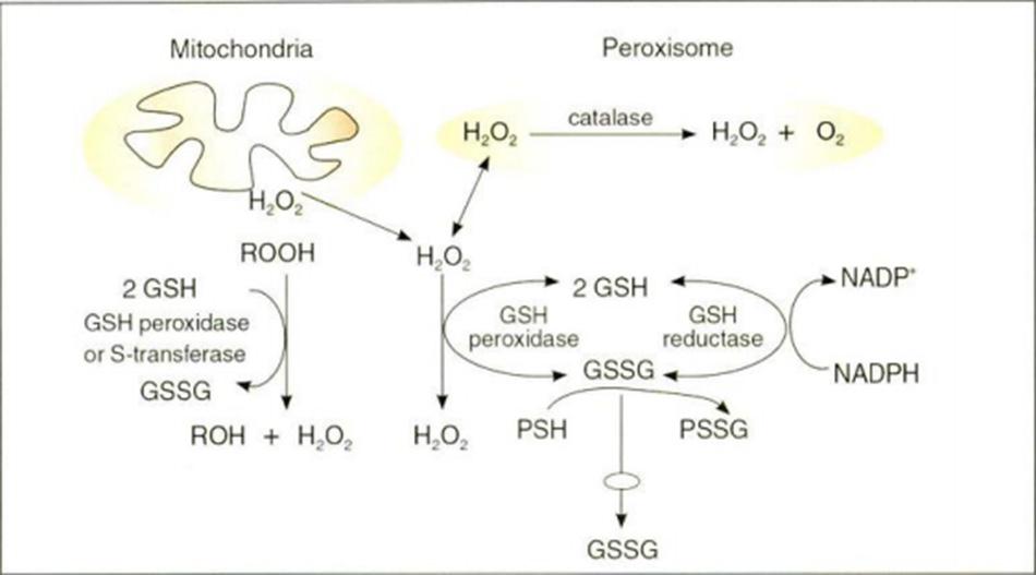 Hình 16.15 Vai trò của Glutathione trong chống oxy hóa