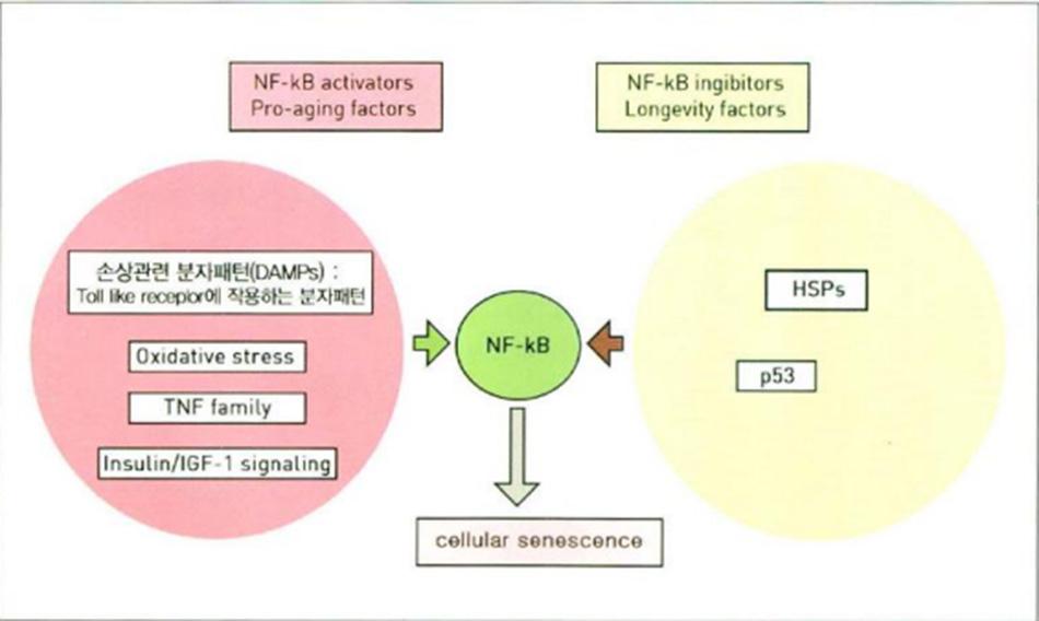 Hình 16.12 Yếu tố trung gian gây viêm NF-kB