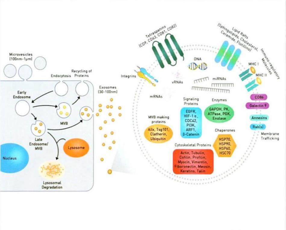Hình 3-5: Cấu trúc và quá trình sản sinh Exosome