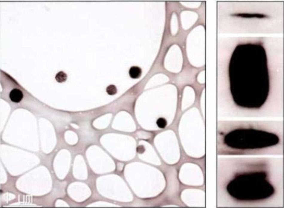 Hình 3-8 Đặc trưng của protein của bóng xuất bào (exosome) Westerblot Nguồn: Stem Cell Research and Therapy 2018;9:87.