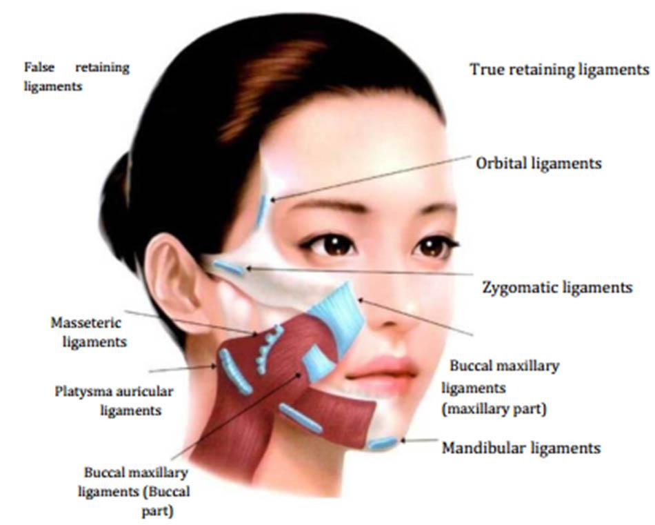 Hình 5-7 Facial Retaining Ligaments