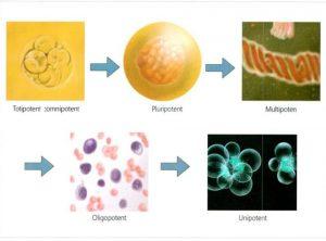 Hình 3-1: Giai đoạn biệt hóa tế bào