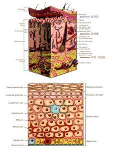 Hình 1-1 Skin and Epidermis