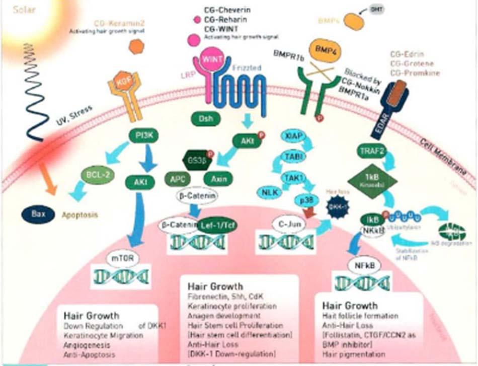 Hình 2-4 Sự biệt hóa, di chuyển tế bào và tăng trưởng của WNT family