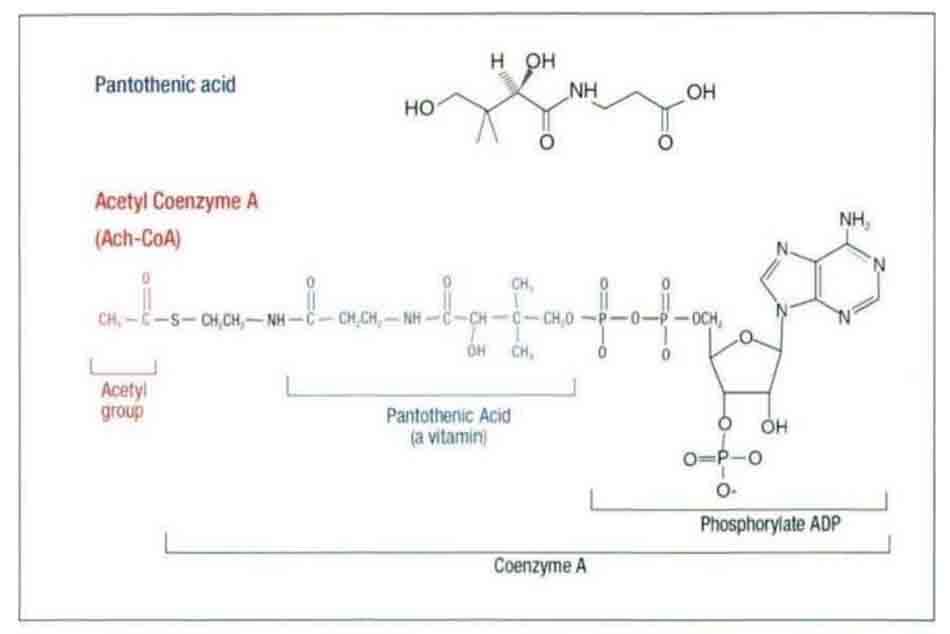 Hình 6-10 Vitamin B5 là thành phần của Co-enzyme A