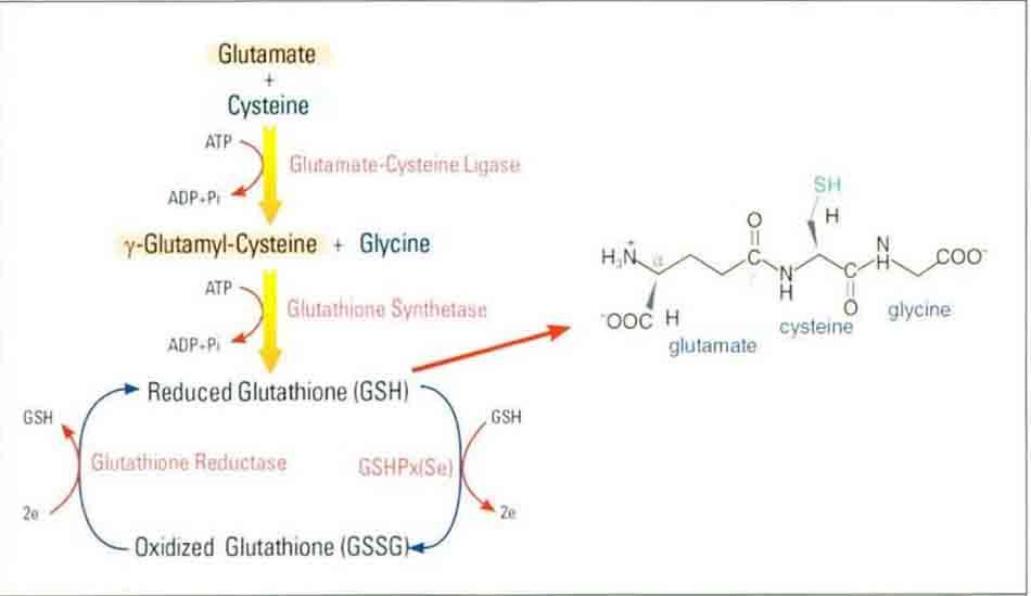 Hình 6-11 Quá trình tổng hợp của Glutathione