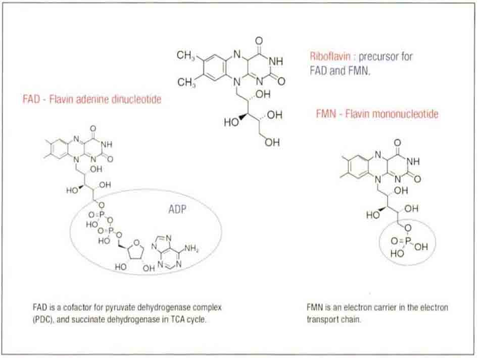 Hình 6-8 Cấu trúc của vitamin B2