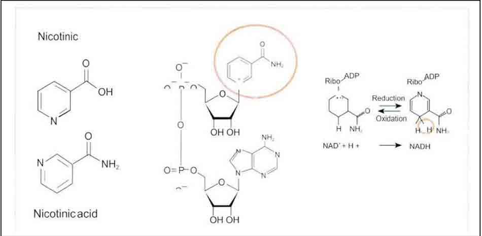 Hình 6-9 Cấu trúc của vitamin B3