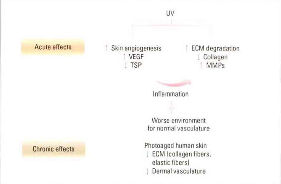 Hình 10-2 Model deicting the acute and chronic effects of UV irradiation on skin angiogenesis and extracellular matrix (ECM) degradation in human skin. MMP, matrix metalloproteinase; TSP, thrombospondin-1, (ECM protein; inhibitor of angiogenesis in epithelial tissues); VEGF, vascular endothelialgrowthfator