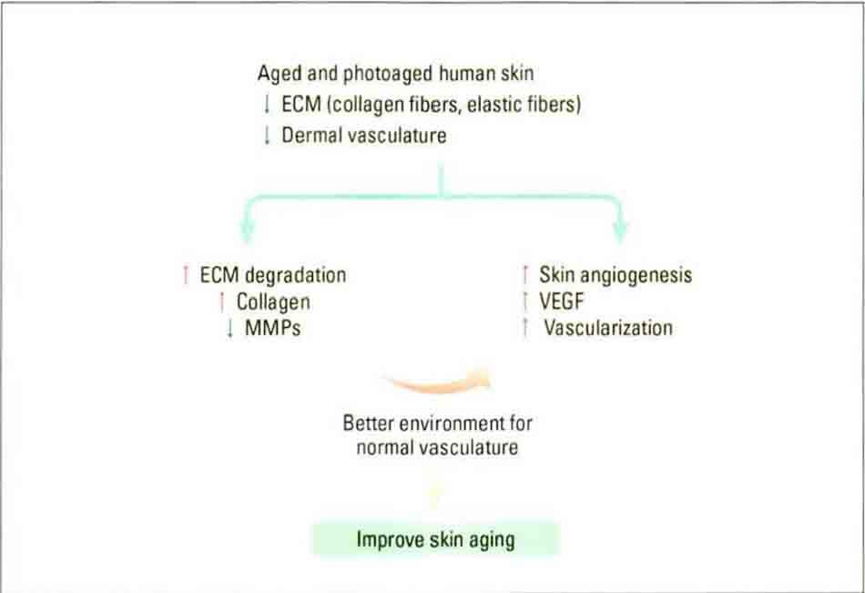 Hình 10-4 Model deicting the effect on photoaged human skin. ECM extracellular matrix: MMP matrix metalloproteinase VEGF vascular endothelialgrowthfactor