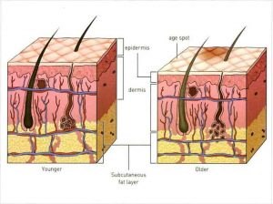 Hình 12-1 Effect of Aging On Skin Structure