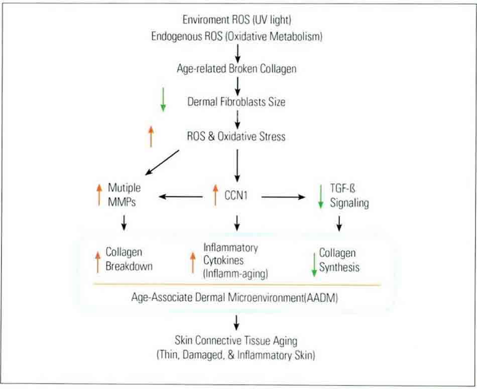 Hình 15-1 Sơ đồ cho thấy quá trình lão hóa của mô liên kết da người