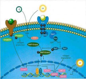 Hình 15-2 Sơ đồ thể hiện tác động của lão hóa phụ thuộc vào tuổi tác và quang hóa trên con đường truyền tín hiệu nội bào điều hòa cân bằng nội môi collagen