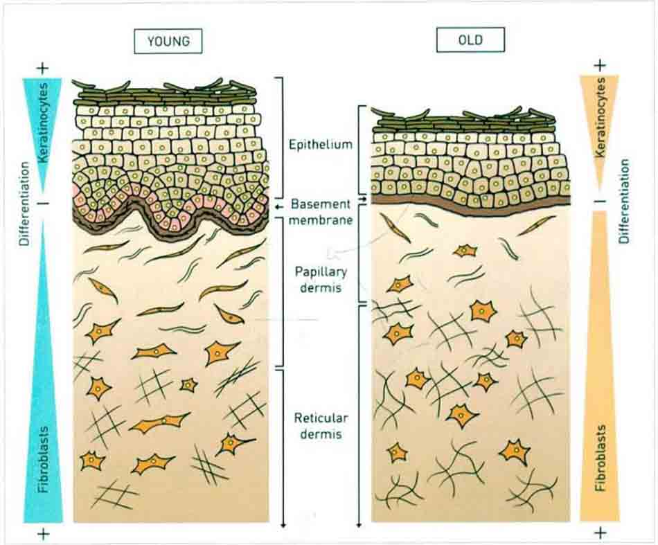 Hình 15-3 Sơ đồ cho thấy những thay đổi trong hình thái của da do lão hóa