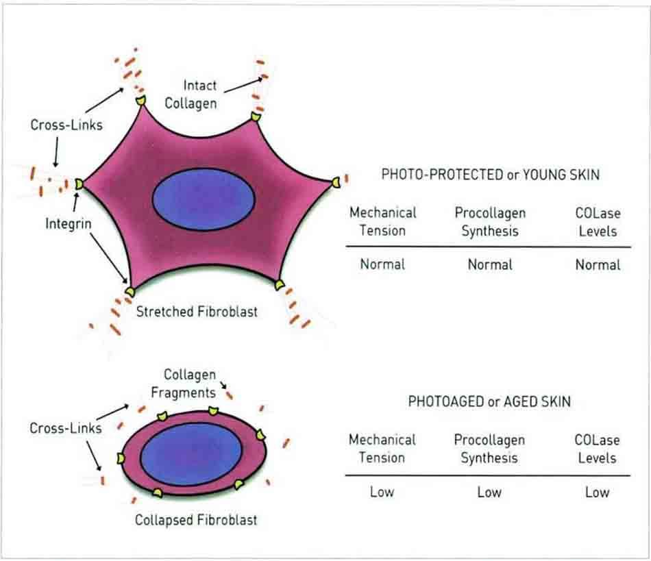 Hình 15-4 Sơ đồ thể hiện mối quan hệ giữa căng thẳng cơ học với sản xuất và phân chia collagen trong da người