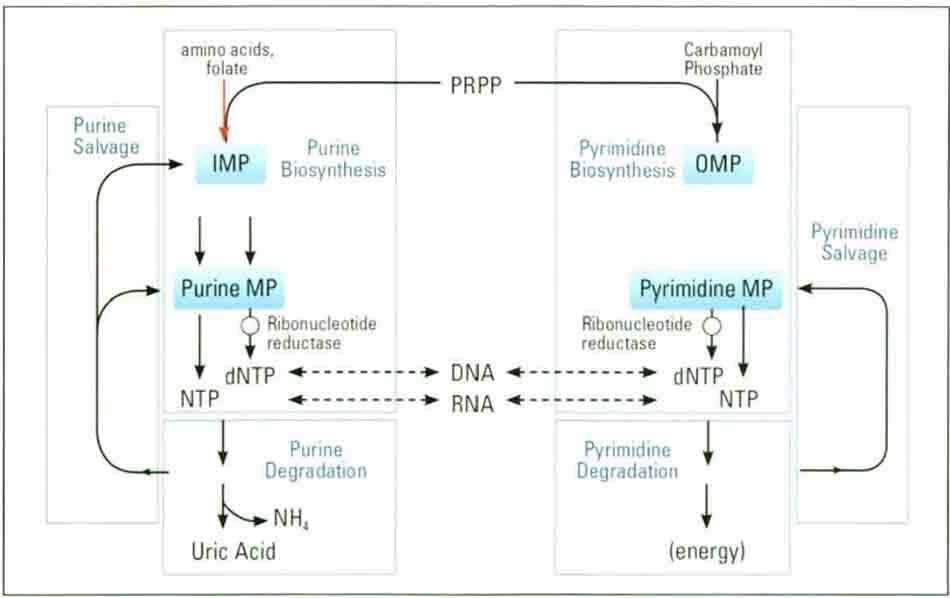 Hình 8-1 Salvage Pathways of Nucleic Acids Metabolism