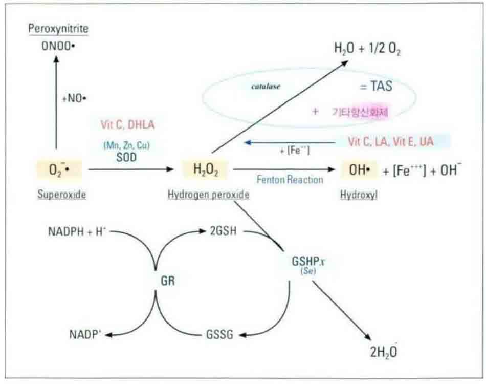 Hình 6-12 Detoxification Pathway of Antioxidants