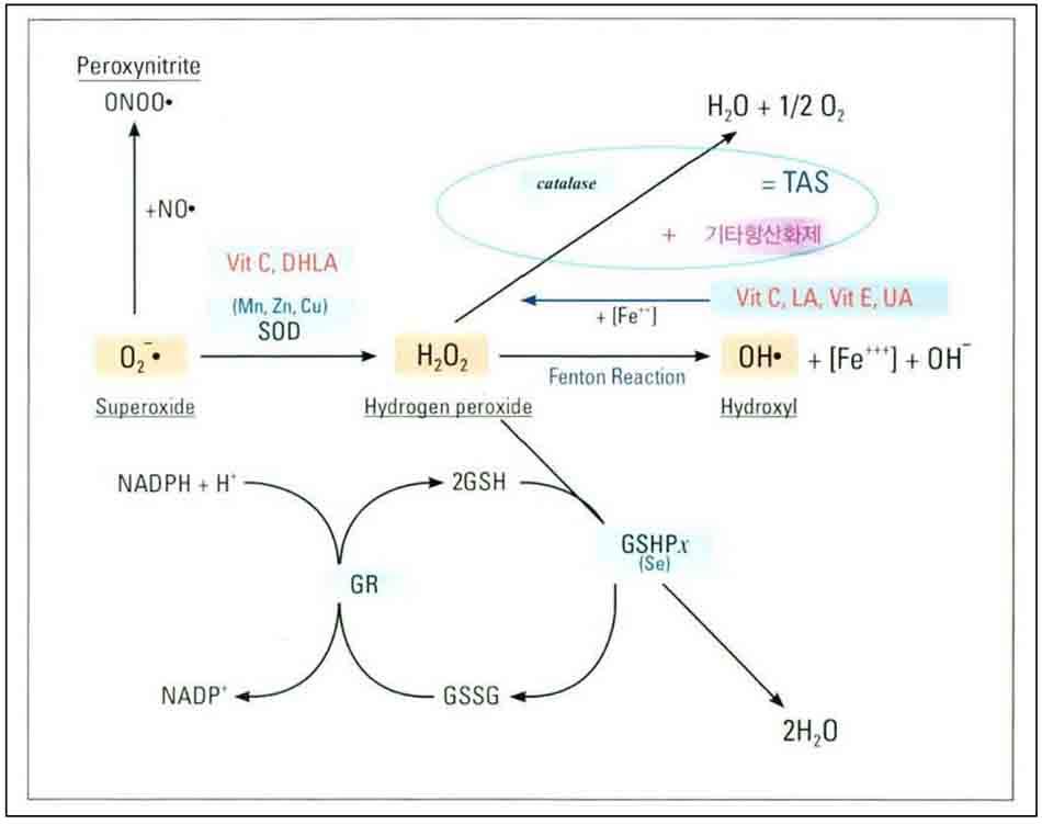 Hình 6-6 Detoxification Pathway of Antioxidants