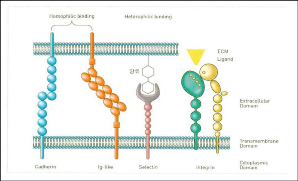Hình 30-2 Homọphilic Binding—kết hợp cùng (cadherin, ig family)